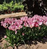 Дивный сад весенний: в Ботаническом саду ВГСПУ цветет сакура