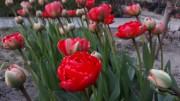 В ботаническом саду ВГСПУ цветут первоцветы