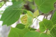 В Ботаническом саду ВГСПУ зацвело тюльпановое дерево
