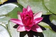 Нимфеи цветут в ботаническом саду ВГСПУ